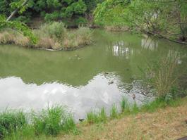 ピアノ池。「ピアノ池の環境をよくする会」がヒメガマ刈りと池の清掃をしています