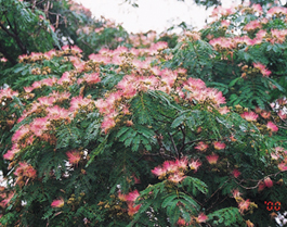 ネムの木の花