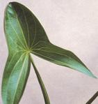 矢尻型の葉